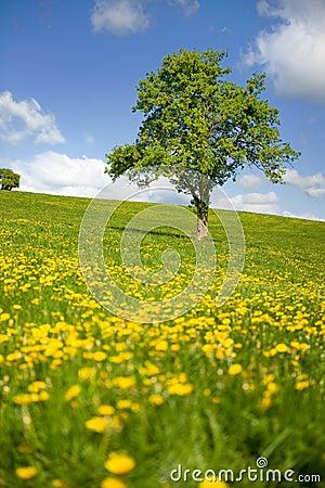 Grass fields with single tree