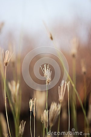 Free Grass Flower In The Grass Field On Brown Background Stock Image - 101337161