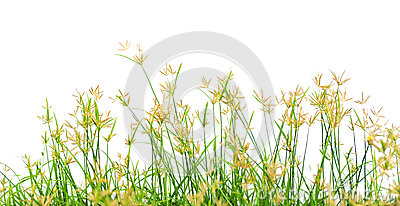 Grass flowering
