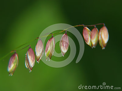 Grass flowering closeup, Melica nutans