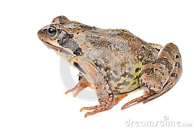 Grass Frog - Side View