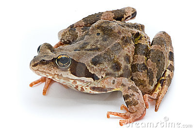 Grass frog on white background.