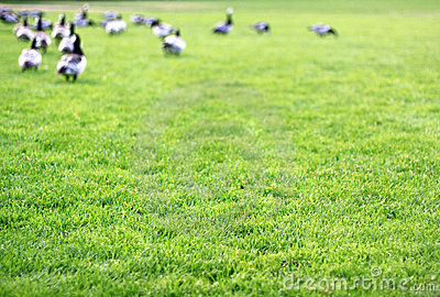 Grass and geese