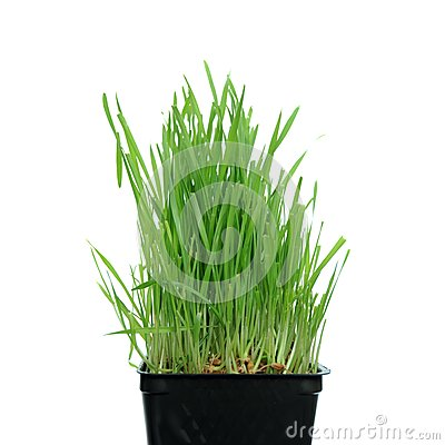 Grass growing from Roots