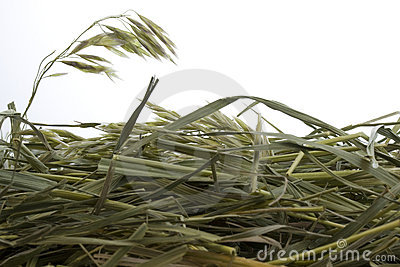Grass hay against white background