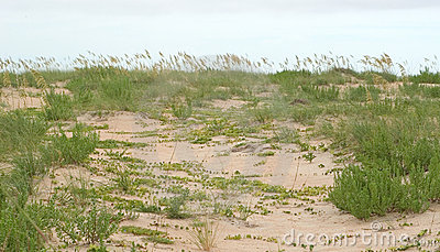 Grass and Ivy in the Dunes