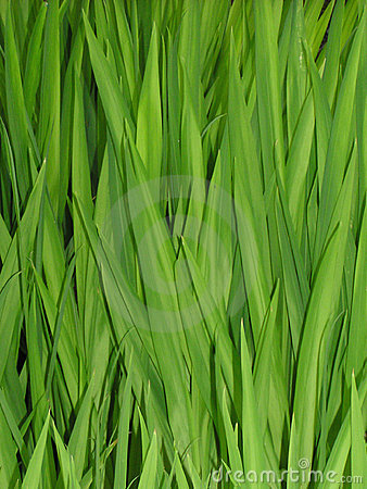 Free Grass Reeds Stock Photo - 10500