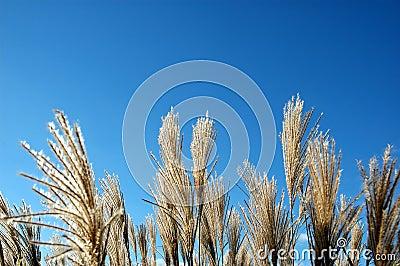 Grass reeds against a blue sky.