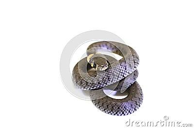 Grass Snake curl