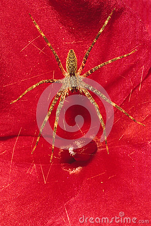 Free Grass Spider On Red Flower Royalty Free Stock Image - 27934226