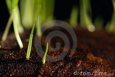 Grass sprouts