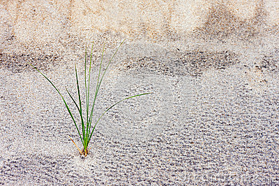 Grass Stalk in Sand Dune