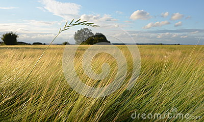 Danish Summer field