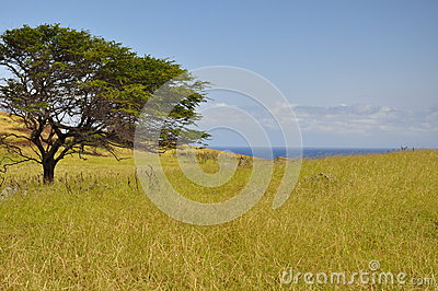 Grass and a tree on Maui, Hawaii