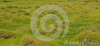 Grass tubers