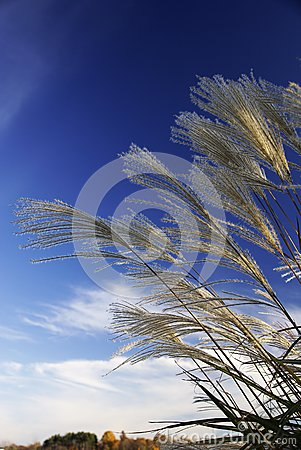 Grasses Against the Sky