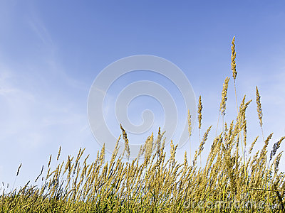 Grasses and blue sky
