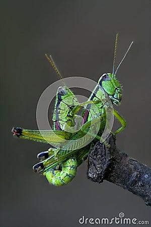 Grasshoper sex