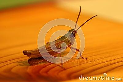 Grasshoppen na tabela