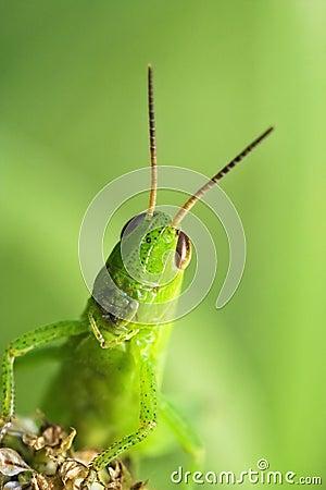 Free Grasshopper Stock Photo - 1003950