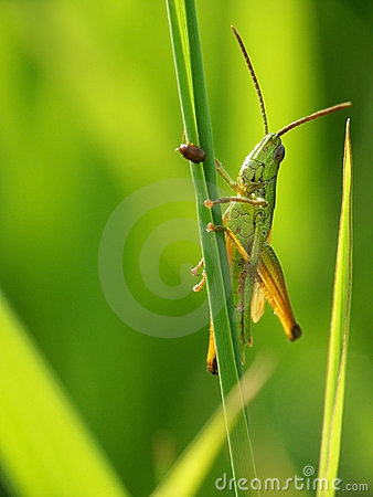 Free Grasshopper Royalty Free Stock Images - 223549