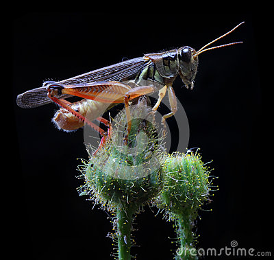 Free Grasshopper Royalty Free Stock Photography - 28446247