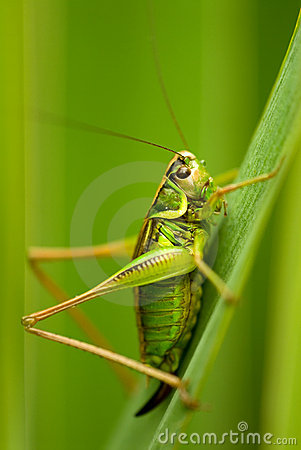 Free Grasshopper Stock Photos - 3922163