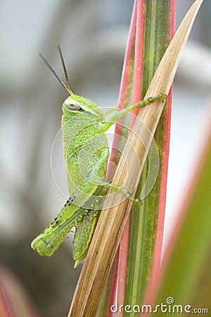 Free Grasshopper Stock Photos - 4021643