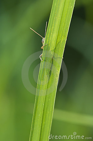 Grasshopper behind a blade of grass