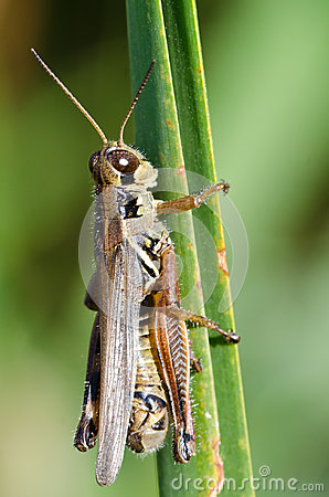 Grasshopper Clinging to a Blade of Grass