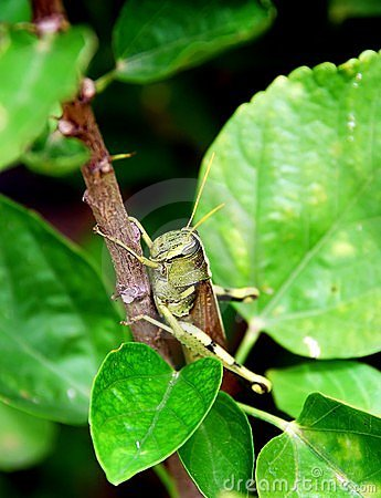 Grasshopper clings to twig