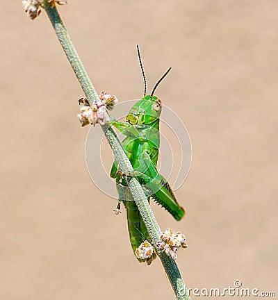 Grasshopper on desert sage