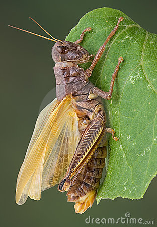 Grasshopper drying wings