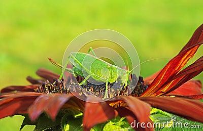 Grasshopper on a flower.