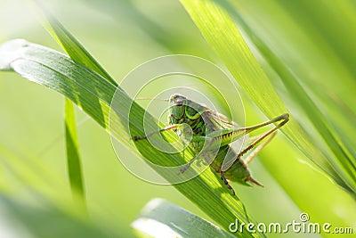 Grasshopper in a grass
