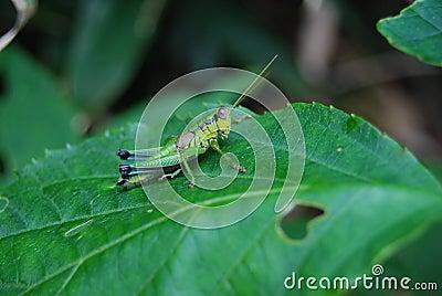 Grasshopper On Green Leaf Free Public Domain Cc0 Image