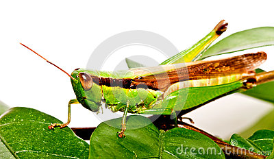 A grasshopper on  green leave