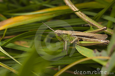 Grasshopper hiding