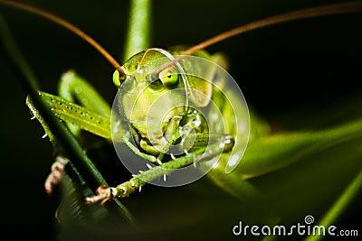 Grasshopper hiding in grass