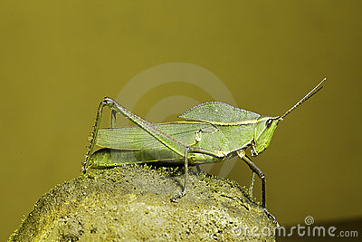 Grasshopper insect of tropical amazon rainforest