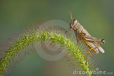 Grasshopper lands on Foxtail