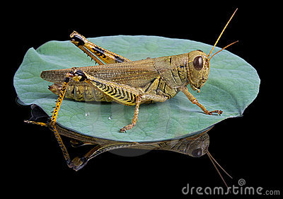 Grasshopper lands on lily pad