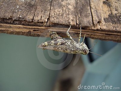 Grasshopper laying eggs