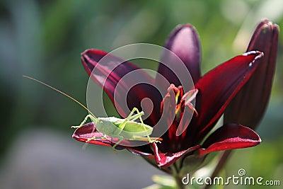 Grasshopper in lily