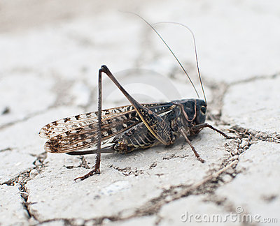 Grasshopper, locust on drought land