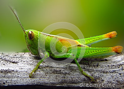 Grasshopper macro closeup