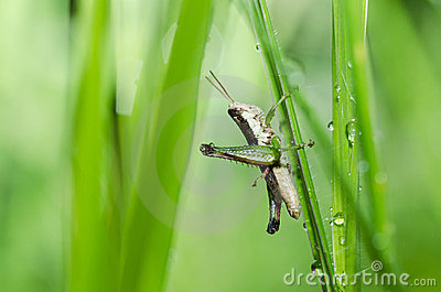 Grasshopper macro in green nature
