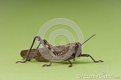 Grasshopper nymph on green background.