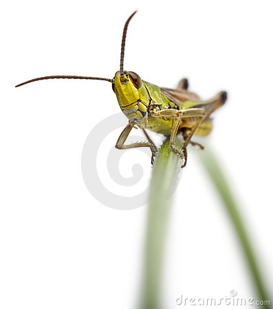 Free Grasshopper On A Grass Blade In Front Of White Stock Photo - 22370080