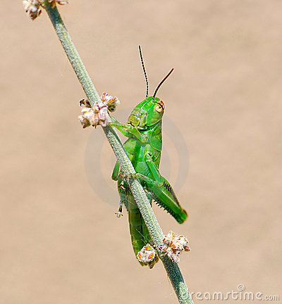 Free Grasshopper On Desert Sage Stock Photos - 5591933